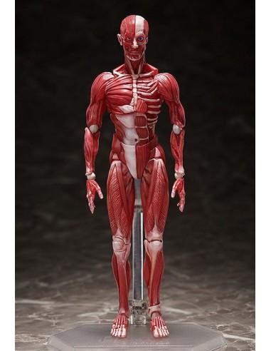 Human Anatomical Model. Figma.